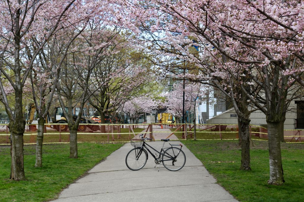 Bicycle between cherry blossom trees at Roberts Library U of Toronto.