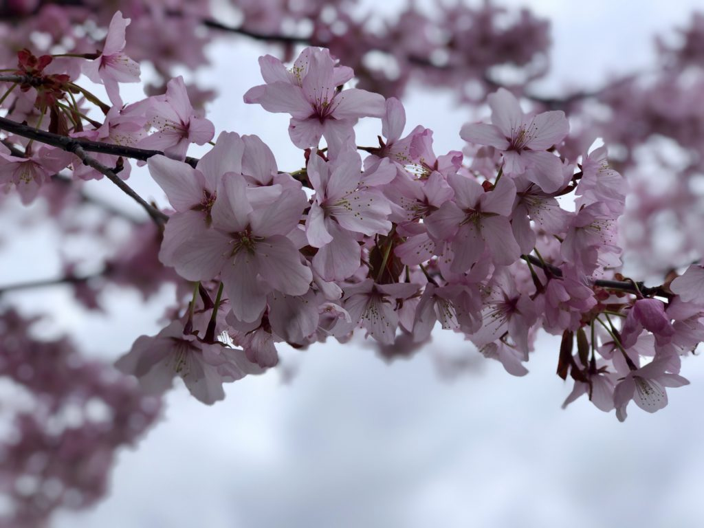 Close up of cherry blossoms in bloom in Toronto