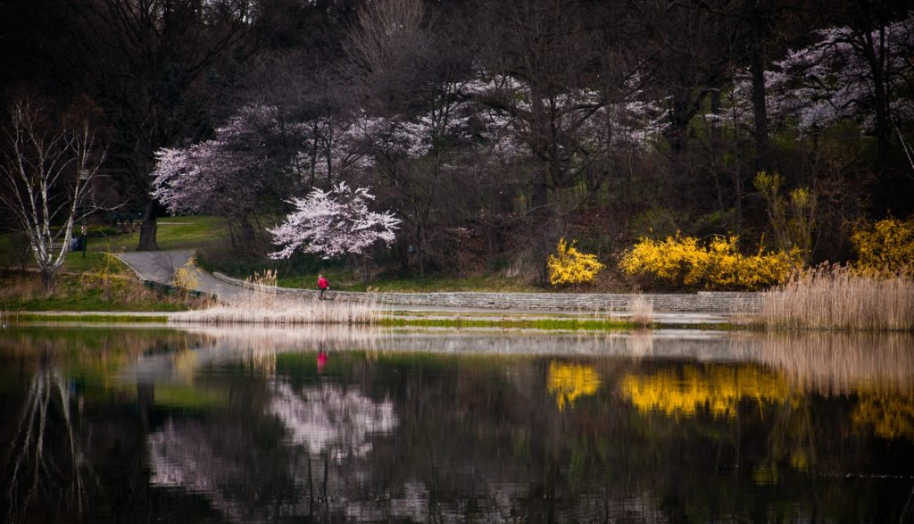 Runner at Grenadier Pond in High Park during cherry blossom season.