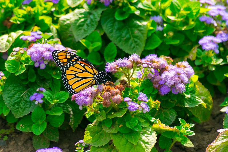 Butterfly on flowers at Toronto botanical gardens.